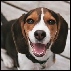 Happy Beagle Puppy